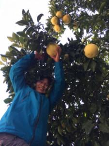 でかい柚子の木。はしごを借りてきました。